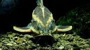 Платидорас полосатый (лат. Platydoras armatulus)